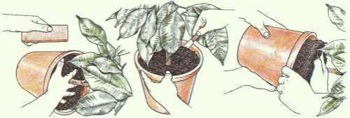 Zimmerpflanzen Umtopfen - Pflanzenfreunde Tipps Umtopfen Zimmerpflanzen