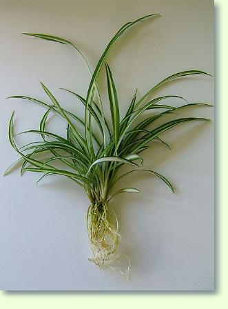 Gemeinsame Grünlilie Pflege - Pflanzenfreunde @KQ_03