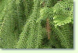 araukarie pflege pflanzenfreunde