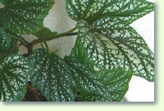 Knollenbildende Begonien Pflege Pflanzenfreunde