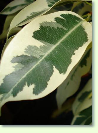 Außergewöhnlich Ficus benjamina (F. benjamini) Pflege - Pflanzenfreunde &KH_59