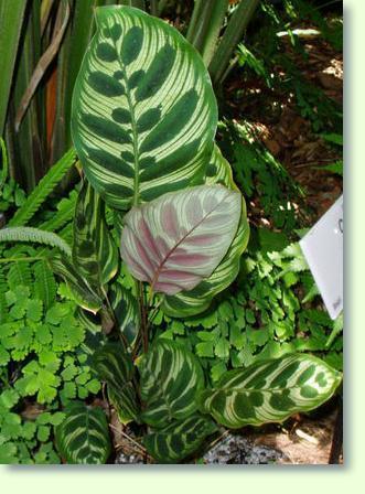 Zimmerpflanzen mit c pflanzenfreunde - Zimmerpflanze sonnig ...