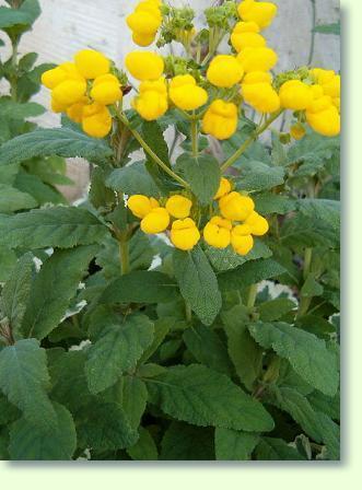 pantoffelblume pflege pflanzenfreunde