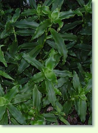Callisia Pflege - Pflanzenfreunde
