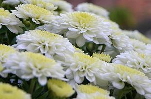 chrysanthemum pflege pflanzenfreunde. Black Bedroom Furniture Sets. Home Design Ideas