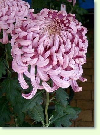chrysanthemen pflege pflanzenfreunde