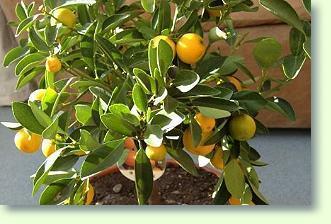 Zitrusbaum ikea