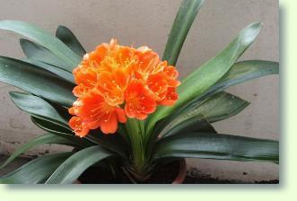 Clivia pflanze kaufen