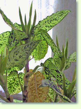 Pflanzen Für Dunkle Räume dieffenbachia für dunkle standorte geeignet pflanzenfreunde