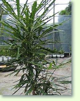 dizyogotheca fingeraralie pflege pflanzenfreunde