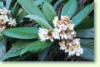 Japanische wollmispel pflege pflanzenfreunde - Japanische zimmerpflanzen ...
