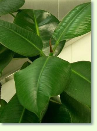 Gummibaum Pflege Pflanzenfreunde