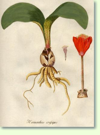 Geliebte Blutblume Pflege - Pflanzenfreunde &DZ_78
