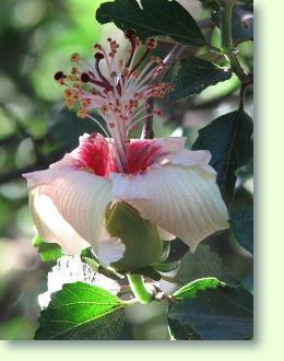 hibiskus pflege pflanzenfreunde. Black Bedroom Furniture Sets. Home Design Ideas