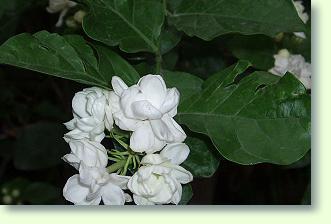 jasmin pflege - pflanzenfreunde, Garten und Bauen