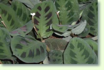 Maranta Pflege Pflanzenfreunde