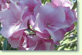 Oleander (nerium Oleander) Pflege - Pflanzenfreunde Oleander Als Zimmerpflanze Richtig Pflegen
