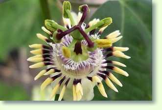 Passionsblumen Pflege - Pflanzenfreunde Schone Passionsblume Pflege Tipps Zimmerpflanzen