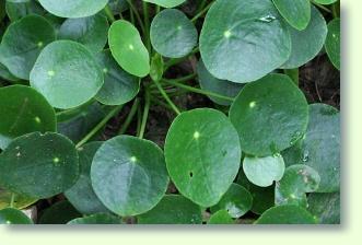 Kanonierblumen Pflege - Pflanzenfreunde