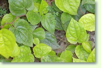 Piper pflanzen pflege pflanzenfreunde - Pfeffer zimmerpflanze ...