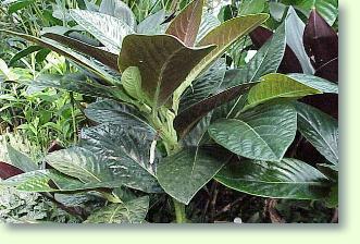 Pfefferpflanzen pflege pflanzenfreunde - Pfeffer zimmerpflanze ...