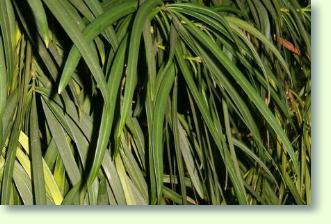 Podocarpus Pflege Pflanzenfreunde