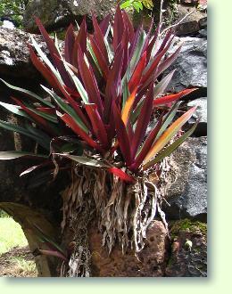 Rhoeo kulturanleitung pflege der zimmerpflanzen