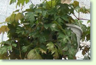 rhoicissus pflanzen f r blumenampeln pflanzenfreunde. Black Bedroom Furniture Sets. Home Design Ideas