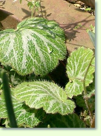judenbart pflege der pflanze pflanzenfreundecom