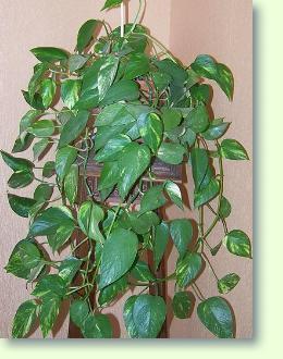 Schatten zimmerpflanzen scindapsus erfolgreich pflegen - Schattige zimmerpflanzen ...
