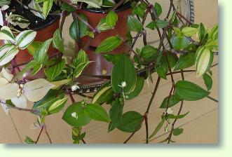 Siderasis zimmerpflanzen für lichtschwache standorte