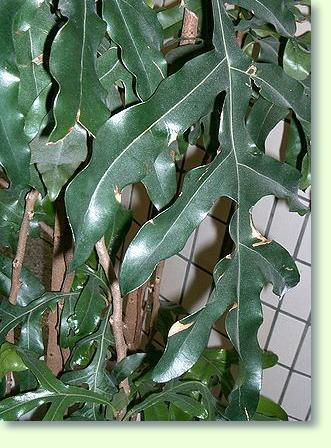 Zimmerpflanzen mit f pflanzenfreunde - Zimmerpflanze sonnig ...
