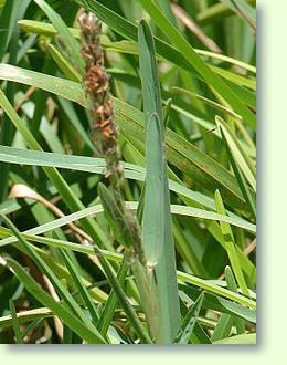 Stenotaphrum erfolgreich pflegen - Pflanzenfreunde
