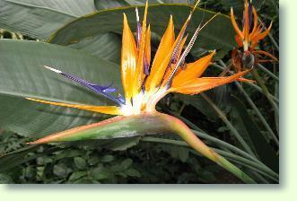 Papageienpflanze pflege