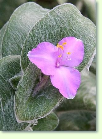 dreimasterblume pflege - pflanzenfreunde, Garten ideen