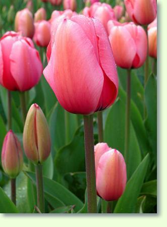 tulpen erfolgreich pflegen pflege pflanzenfreunde. Black Bedroom Furniture Sets. Home Design Ideas