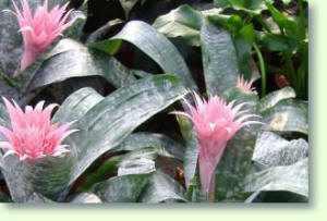 Aechmea Pflege Der Zimmerpflanzen Pflanzenfreunde