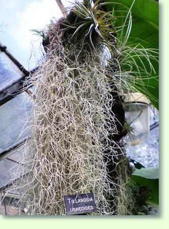 Tillandsien Kaufen tillandsia bromelien pflegen pflanzenfreunde