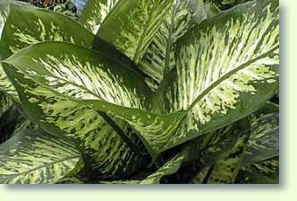 Diefenbach Pflanze