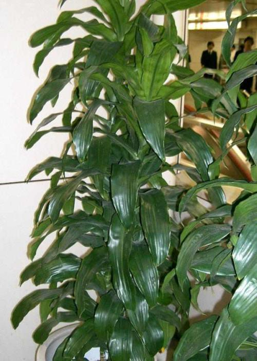 drachenbaum dracaena pflege pflanzenfreunde. Black Bedroom Furniture Sets. Home Design Ideas