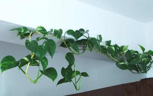 Zimmerpflanzen pflegeleicht und robust - Pflanzenfreunde