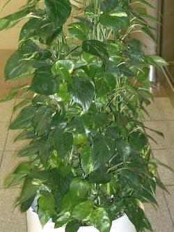 efeu pflege awesome feldahorn acer campestre u standort einpflanzen und pflegen with efeu. Black Bedroom Furniture Sets. Home Design Ideas