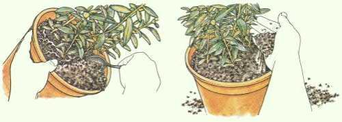Zimmerpflanzen Umtopfen: Anleitung - Pflanzenfreunde Einige Regeln Die Man Beim Umpflanzen Beachten Muss
