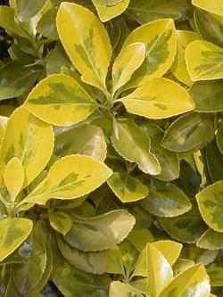 Euonymus pflege pflanzenfreunde for Fliegen erde zimmerpflanzen
