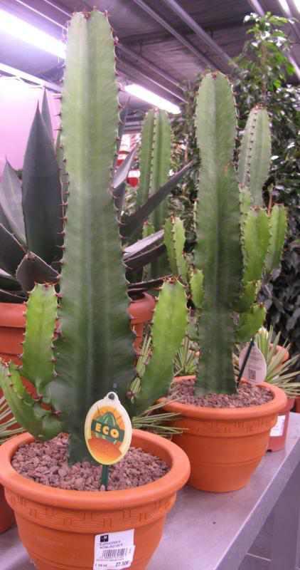 Etwas Neues genug Euphorbia abyssinica Pflege - Pflanzenfreunde &BX_07