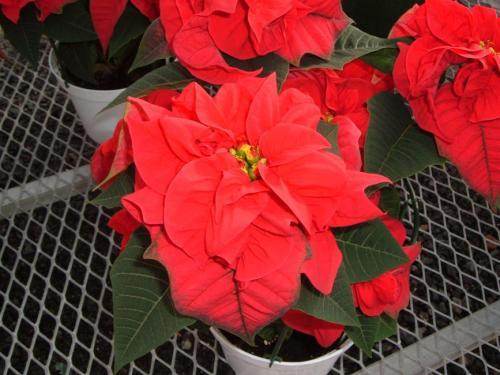 Zimmerpflanzen mit c pflanzenfreunde - Pfeffer zimmerpflanze ...