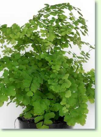 Zimmerpflanzen mit a pflanzenfreunde for Zimmerpflanzen pflegeleicht