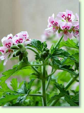 pelargonium pflege pflanzenfreunde