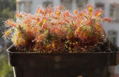 wohnzimmer pflanzen wenig licht : Zwergsonnentau Arten Pflanzenfreunde