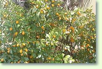 kumquat pflege pflanzenfreunde. Black Bedroom Furniture Sets. Home Design Ideas